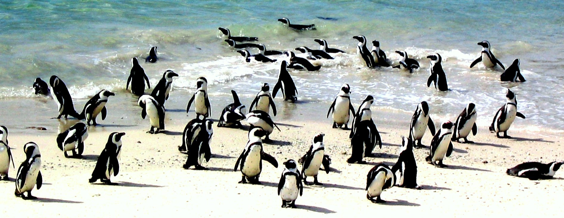 penguins_at_boulder-s_beach-_south_africa.jpg